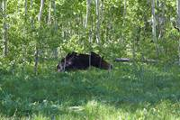 A moose laying down near the edge of the forest at Willow Lake