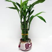 bamboo plant - gift shop